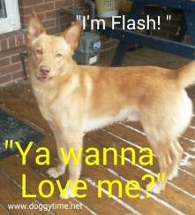 FLASH ~ Proud to Foster for From My Heart Rescue who Rescued Flash and found his Furever Home!