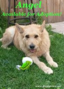 """Angel is an 8 year old Irish Wolfhound/GSD girl who's spayed and UTD on vaccines. Good with most male dogs but NO CATS! Loves people once she gets to know and trust them but nervous around children. Looking for a quiet home for Angel to live out her approaching """"golden years"""", filled with walks and couch time!"""