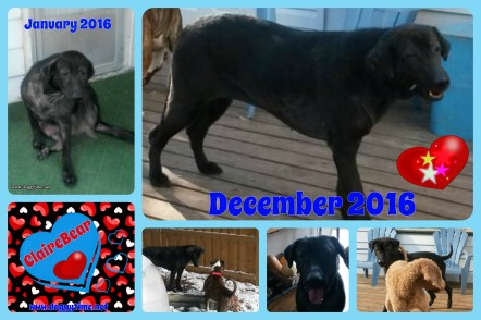 ClaireBear surrendered to us very ill in Jan 2016, and 11 months later 100% better and adopted by us!