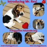 Rex is a 2 year old beagle mix boy.  Neutered and UTD on vaccines. Good with kids, other dogs and cats! House and crate trained. Quiet and good on leash. Wonderful edition to a multiple pet family!