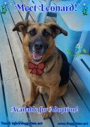 """Leonard """"Lenny"""" is a 3 year old GSD boy. UTD on vaccines and neutered. Great with people but nervous around small children. Currently learning to feel comfortable around other dogs. Diagnosed with pancreatic insufficiency, Lenny is on a strict Raw Diet, pancreatic powder and supplements which provides him with all he needs to feel healthy."""