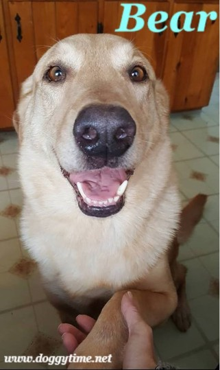 Bear is 5 yrs old, 100 lbs, neutered & UTD. Med-High energy, older children only, good with most dogs, prefers female dogs. Loves people!