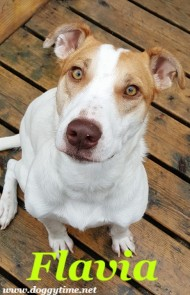 Flavia is a Canine Haven Rescue dog. Vira Lata from Dom. Rep. Spayed/F, UTD, 40 lbs. Mild anxiety, older children only, plays well with other dogs. Visit https://www.caninehavenrescue.com/ for Adoption Application.