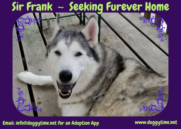 Frank is a 7 year old Siberian Husky who loves people, cats and other dogs! Seeking quiet home as he approaches his golden years.