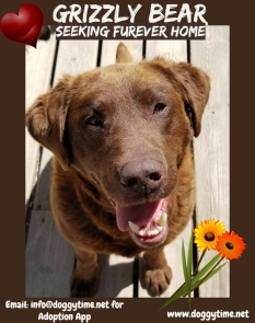 Grizzly Bear is a 3 year old Chessie/Choc Lab boy. He loves people, other dogs, cats and just about everyone and everything!