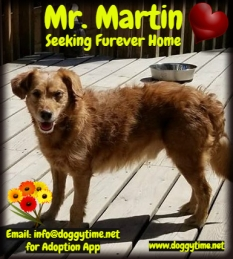 Martin is a Mini Poodle/Aussie Shep mix boy who's 9 years young! Looking for a quiet retirement home.
