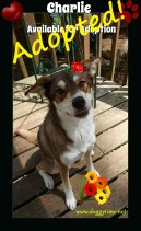 MISS CHARLIE ♥ Rescued by Just Paws and cared for by Doggytime until Adopted in 2017