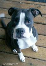 SOPHIE ♥ (Formerly Emily) Rescued by Team Chelsea, cared for by Doggytime and Adopted in Jan 2015